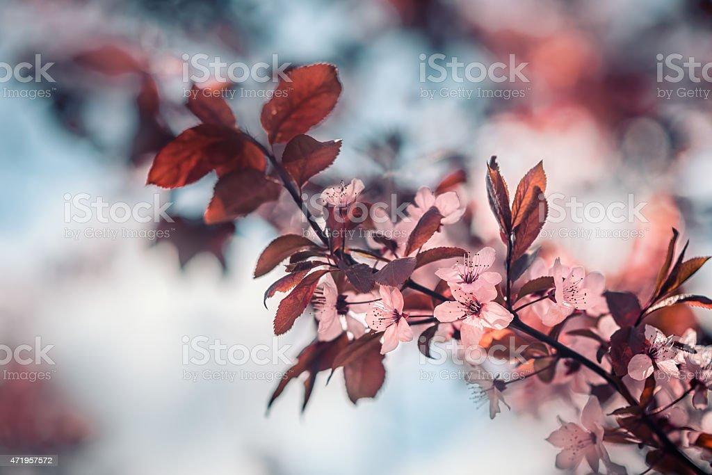 Spring cherry blossom stock photo