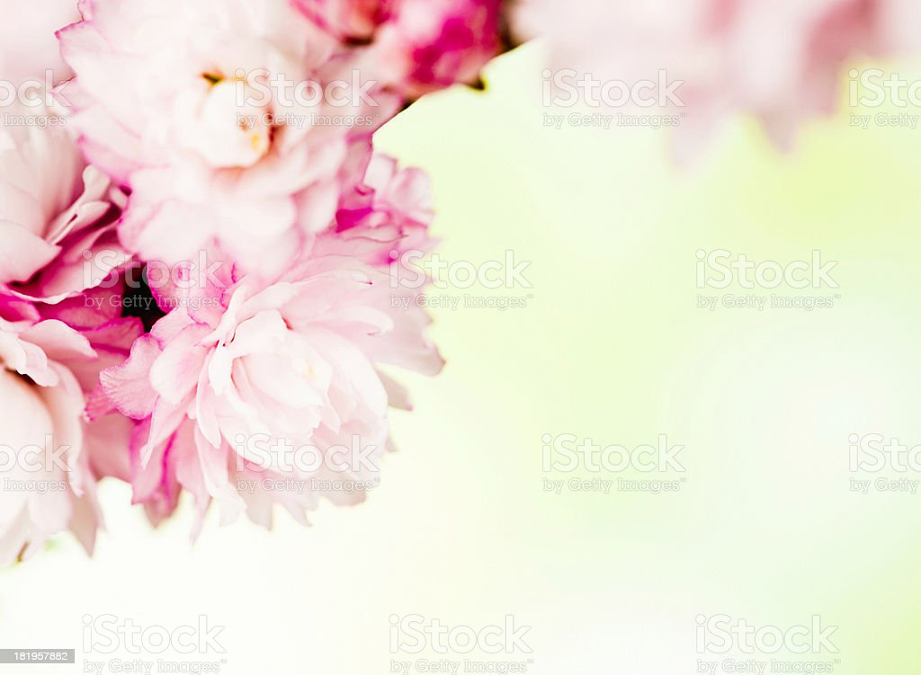 Spring Cherry Blossom with Copy Space royalty-free stock photo