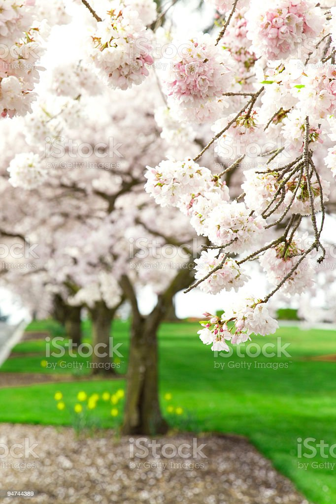 Spring Cherry Blossoms at a Park royalty-free stock photo