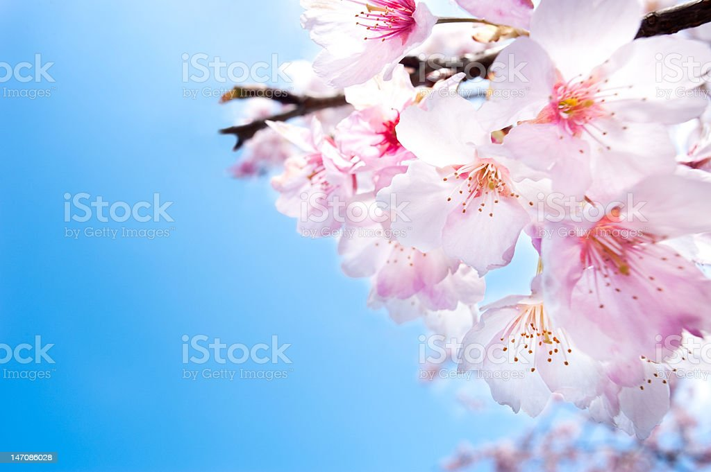 Spring cherry blossoms closeup, white flower stock photo