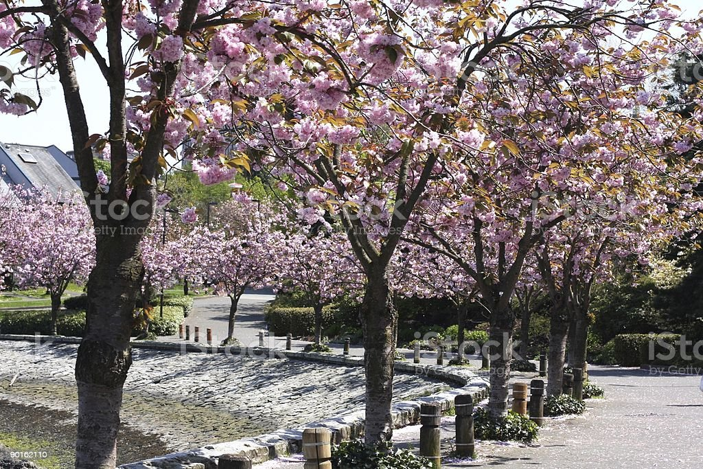 Spring Cherry Blossoms in Vancouver's False Creek Neighborhood, Canada royalty-free stock photo
