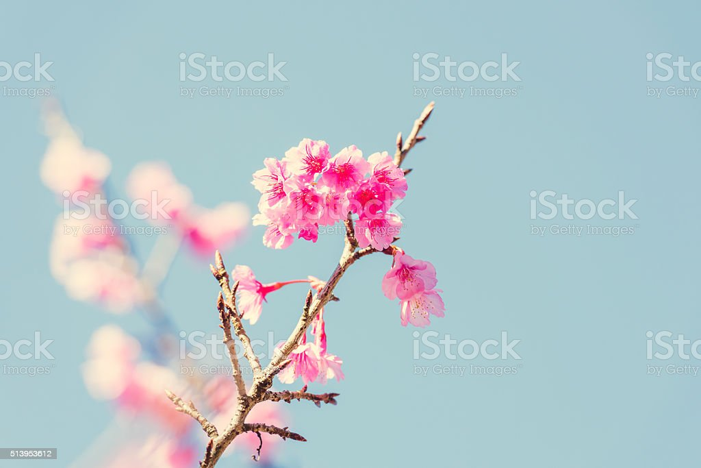 Frühlings-Kirschblüten Lizenzfreies stock-foto