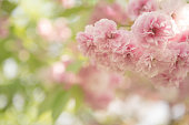 Spring Cherry Blossoms - Pink And Bokeh Background