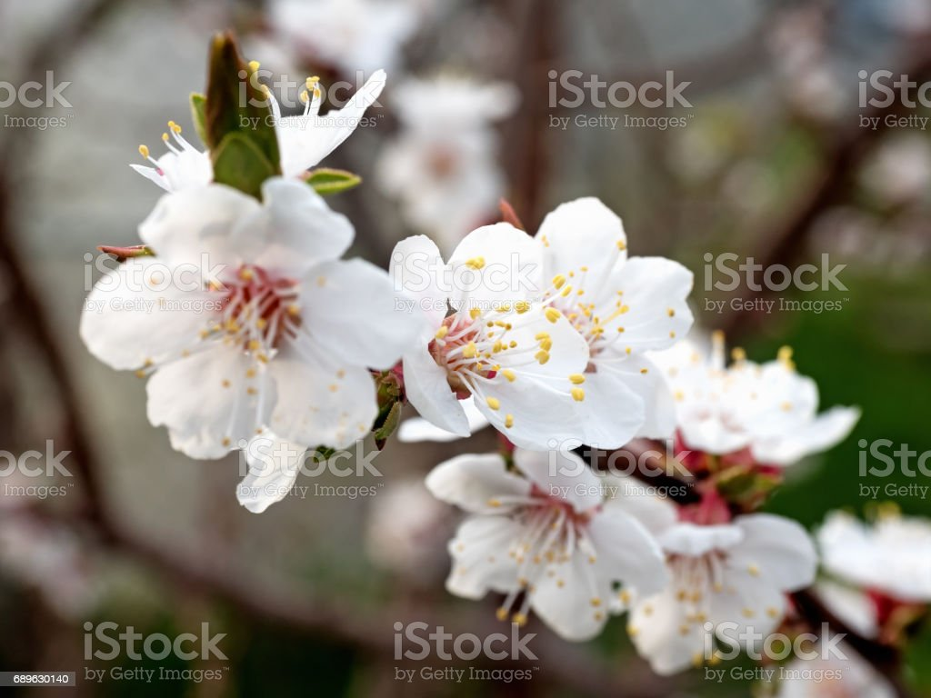 Spring: Cherry Blossoms. Shallow depth of field. stock photo