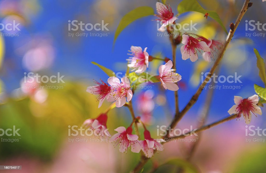 Spring Cherry Blossoms with Blue Sky Background royalty-free stock photo