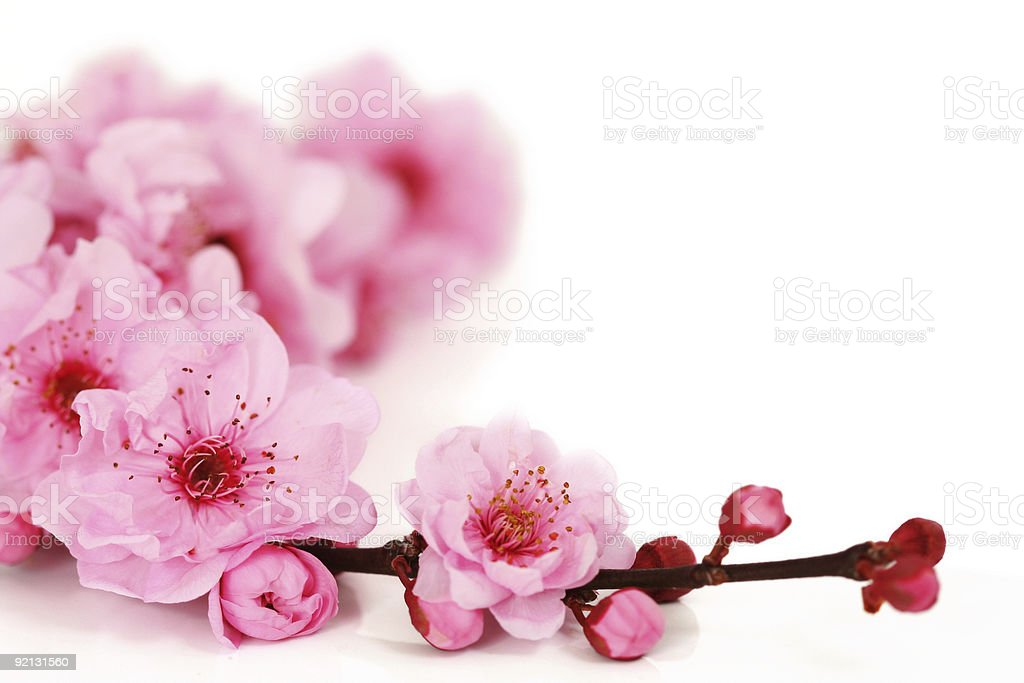 Spring cherry flowers royalty-free stock photo