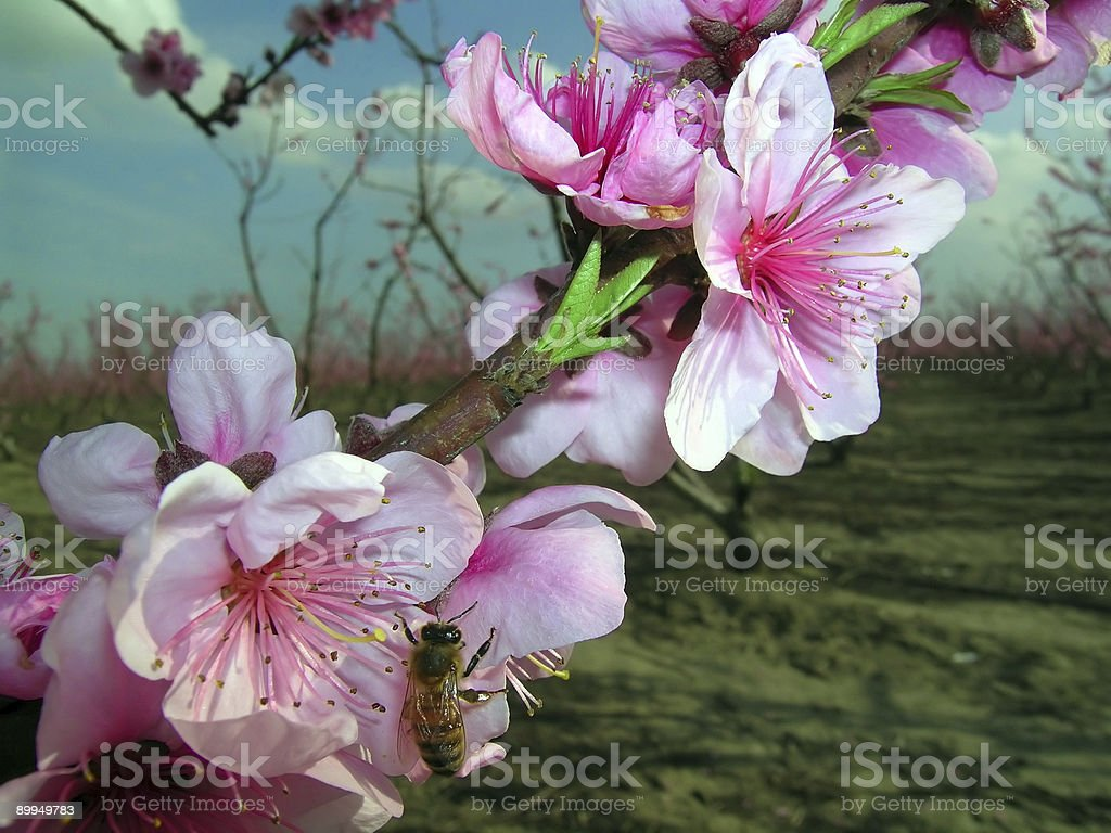 Spring cherry with a bee 1 royalty-free stock photo