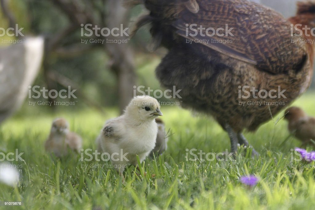 Spring Chick royalty-free stock photo