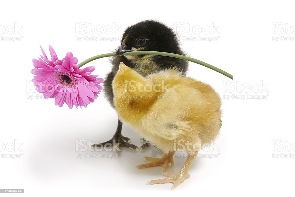 Spring Chicken royalty-free stock photo