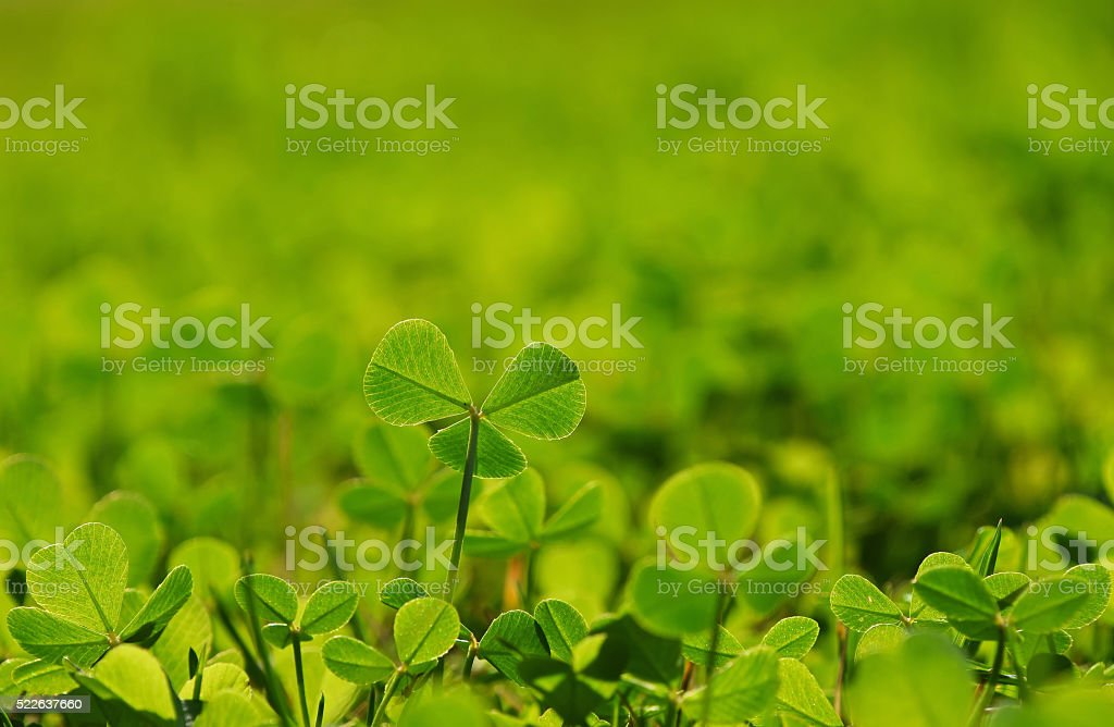 Spring clover leaves in green grass royalty-free stock photo