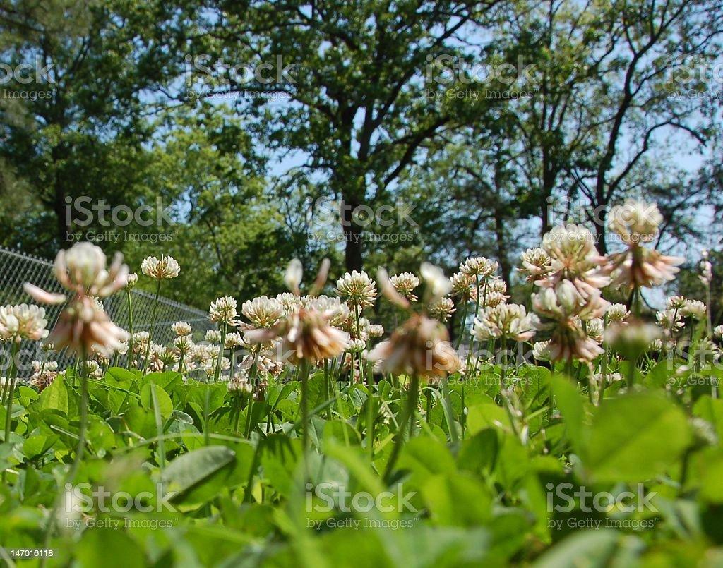 Spring clover stock photo