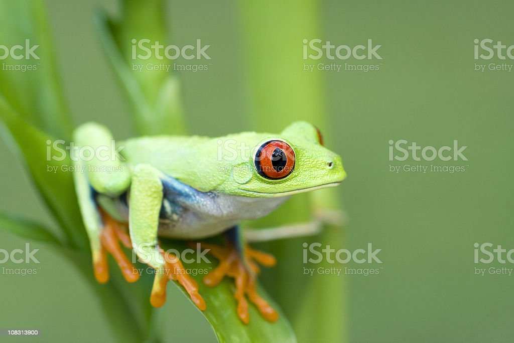 Spring Color  Red-eyed Tree Frog royalty-free stock photo