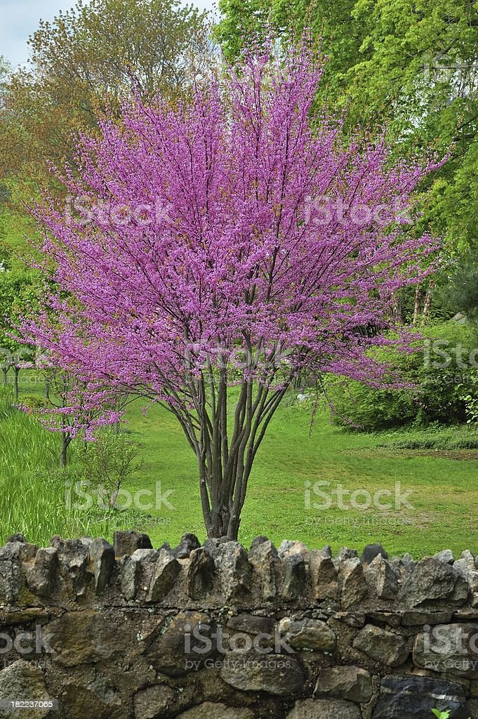 Spring colors,an Eastern Redbud tree in full bloom royalty-free stock photo
