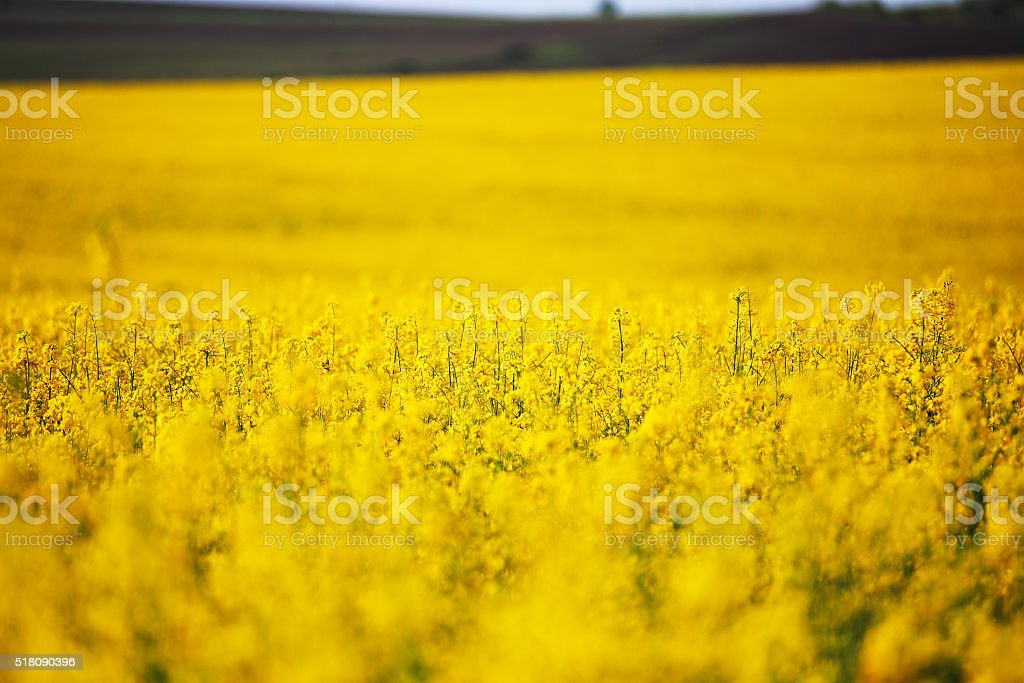 Spring colza fields. Blooming yellow flowers stock photo