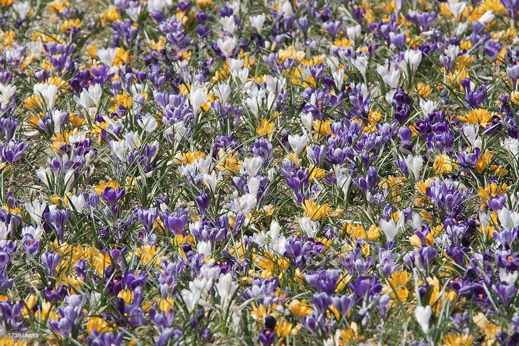 Spring crocus flowers royalty-free stock photo