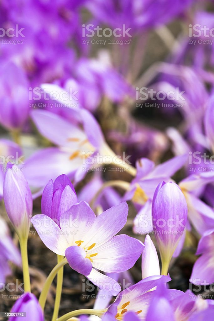 Spring crocus in bloom royalty-free stock photo