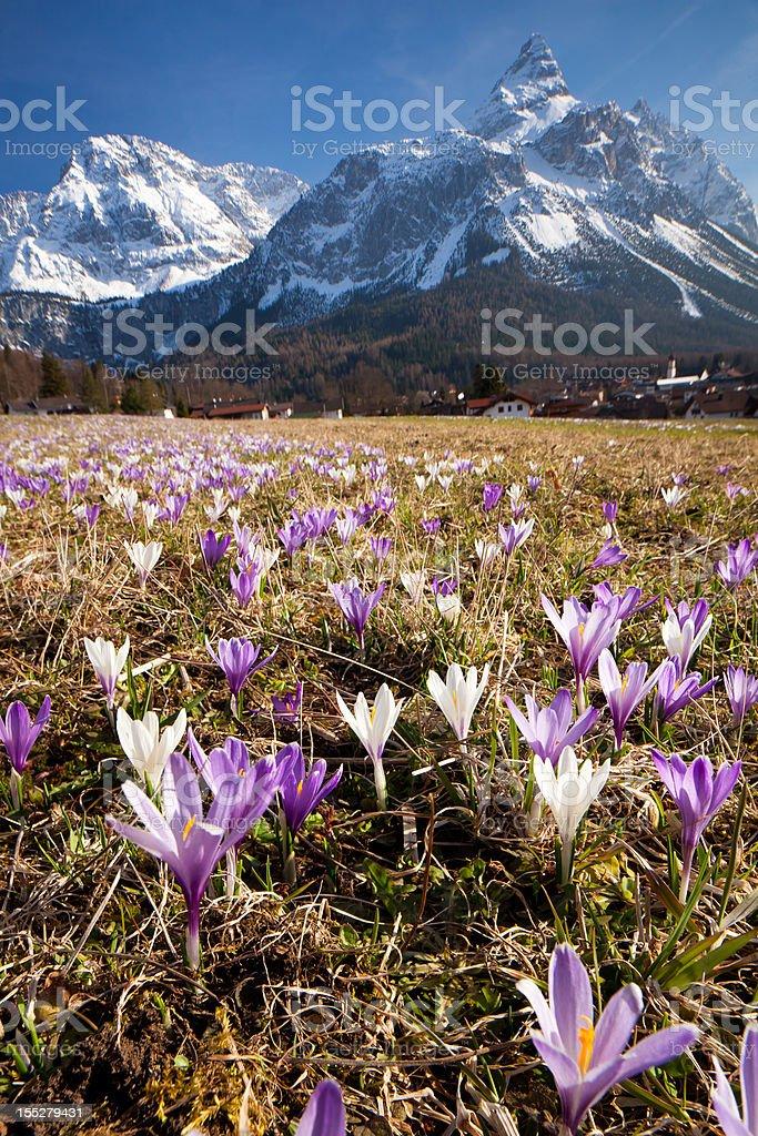 spring crocus meadow in the alps, tirol - austria royalty-free stock photo