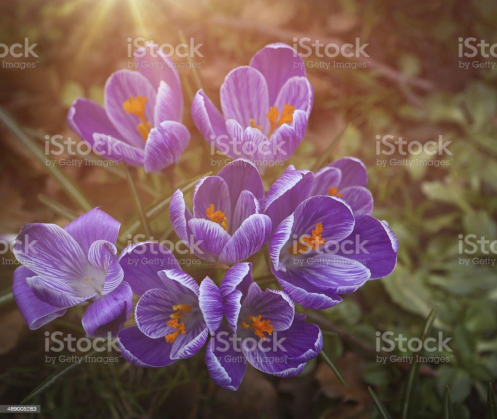 Spring Crocus stock photo