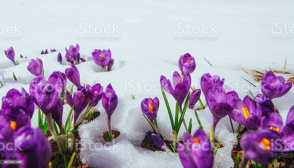 Spring crocuses in melting snow stock photo