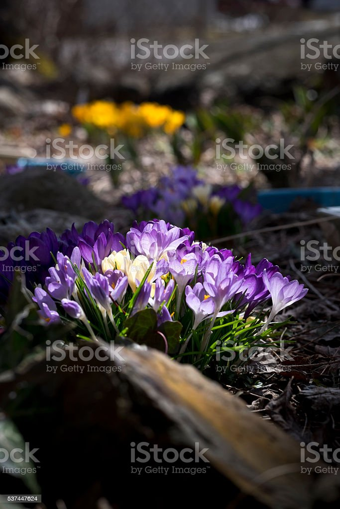Spring crocuses open to the sun, Purple and yellow stock photo