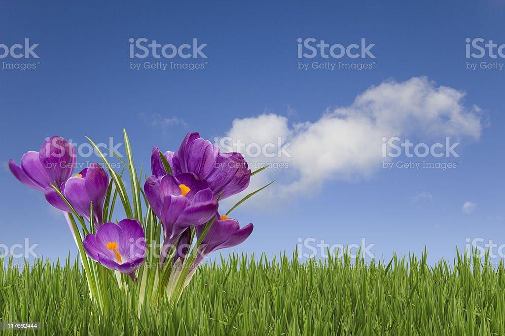 Spring Crocuses royalty-free stock photo
