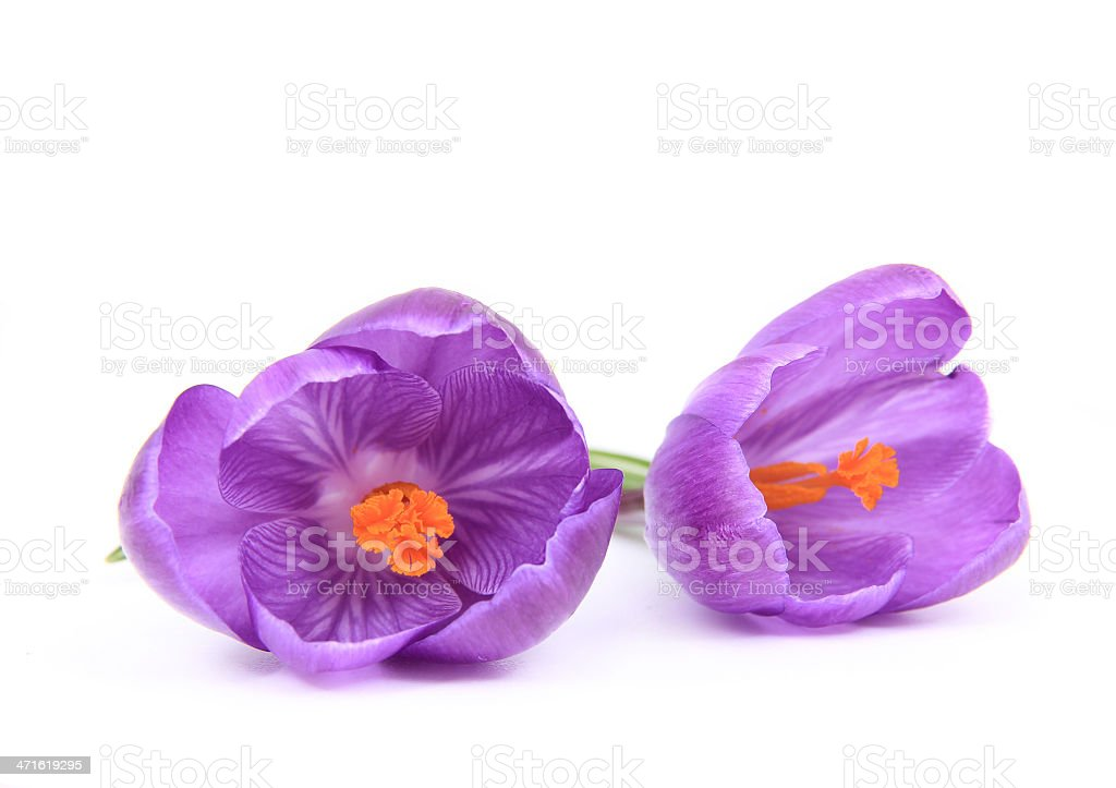 Spring crocusses royalty-free stock photo
