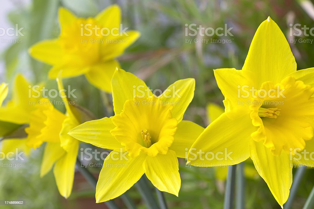 Spring Daffodil, Narcissus royalty-free stock photo
