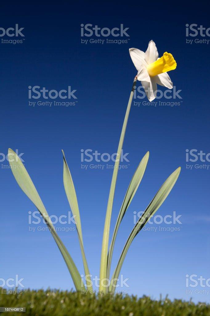 Spring Daffodil stock photo