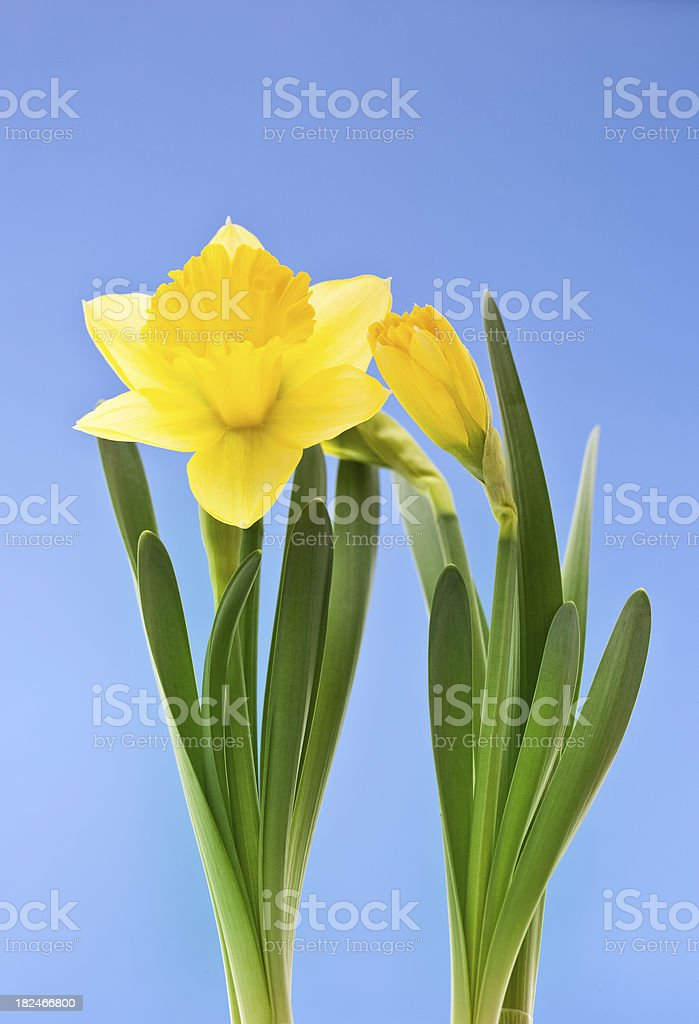 Spring daffodil royalty-free stock photo
