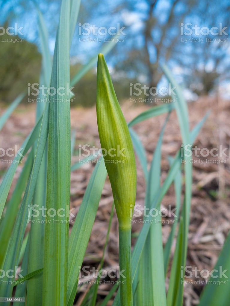 spring daffodil ready to bloom stock photo