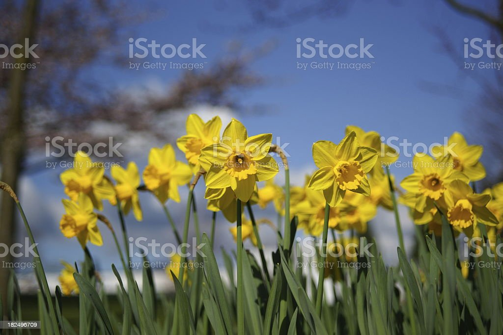 Spring Daffodils And Blue Sky stock photo