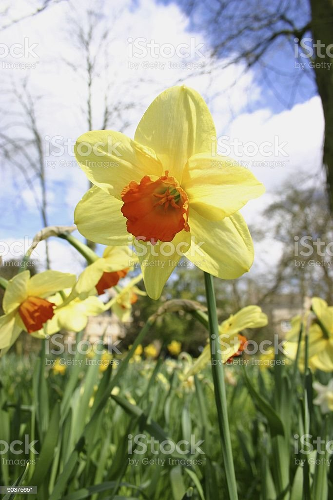 spring daffodils at the park royalty-free stock photo