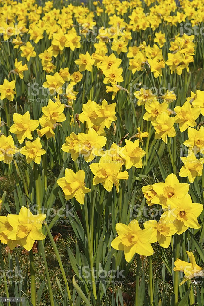 Spring daffodils background stock photo