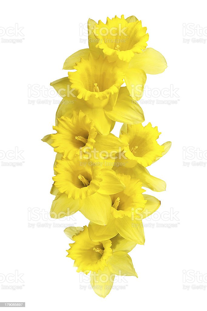 Spring daffodils border or frame background royalty-free stock photo