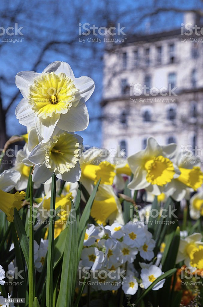 Spring daffodils in park royalty-free stock photo