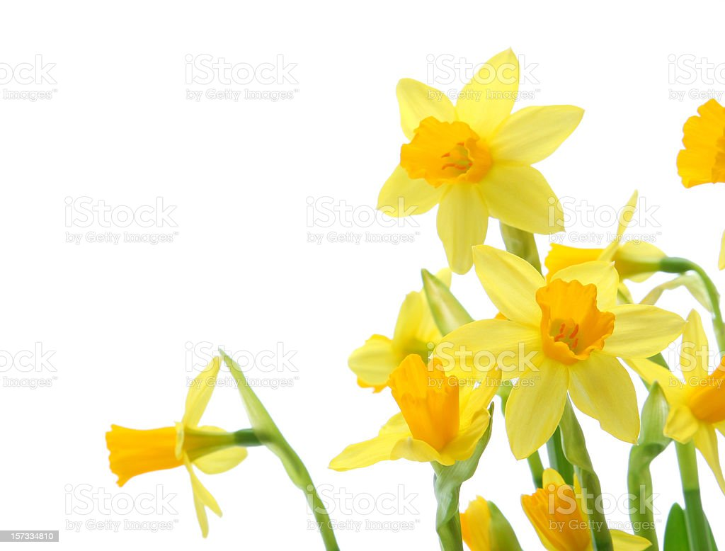 Spring daffodils royalty-free stock photo