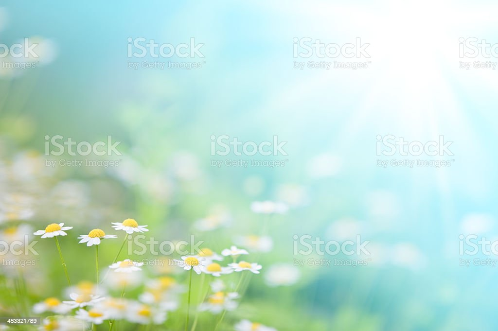 Spring daisies stock photo