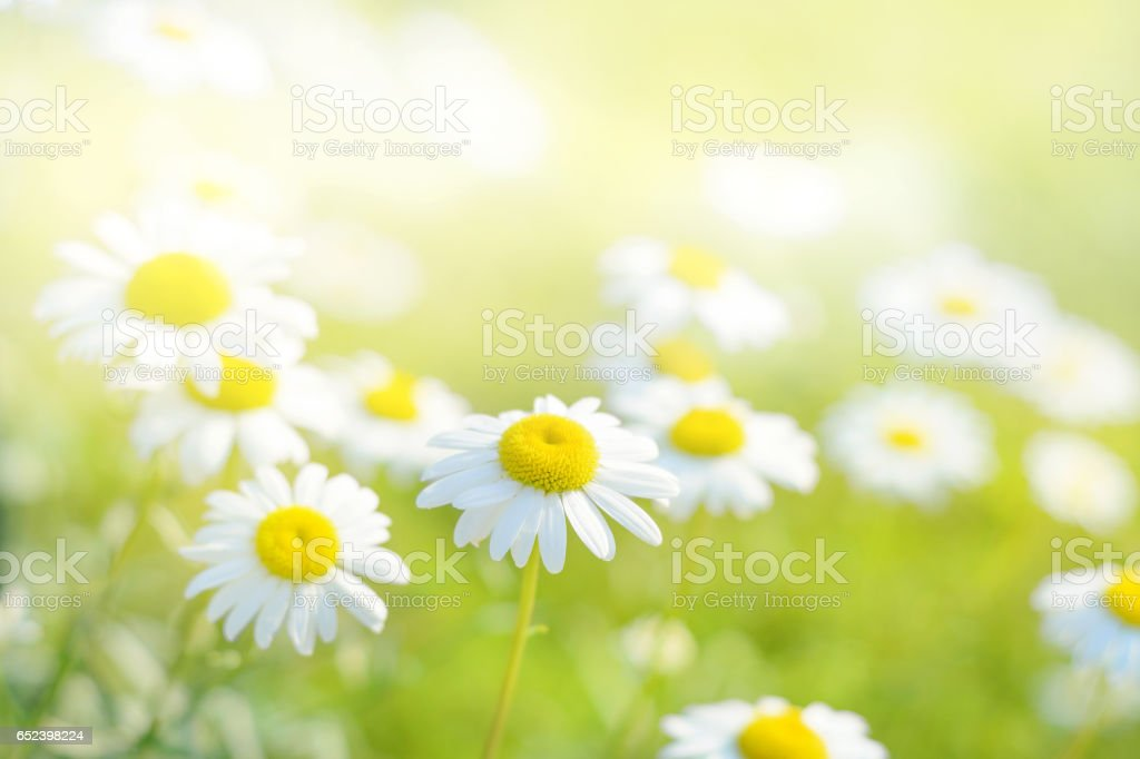 Spring daisy flowers field. Natural sunny background stock photo