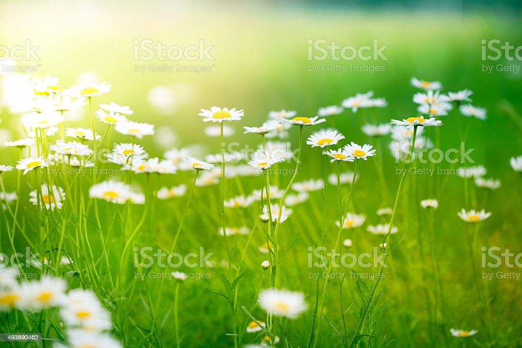 Spring daisy stock photo