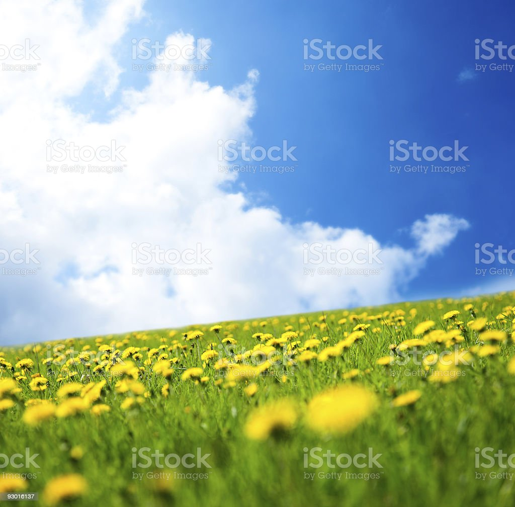 spring dandelions and perfect sky (shallow DOF) royalty-free stock photo