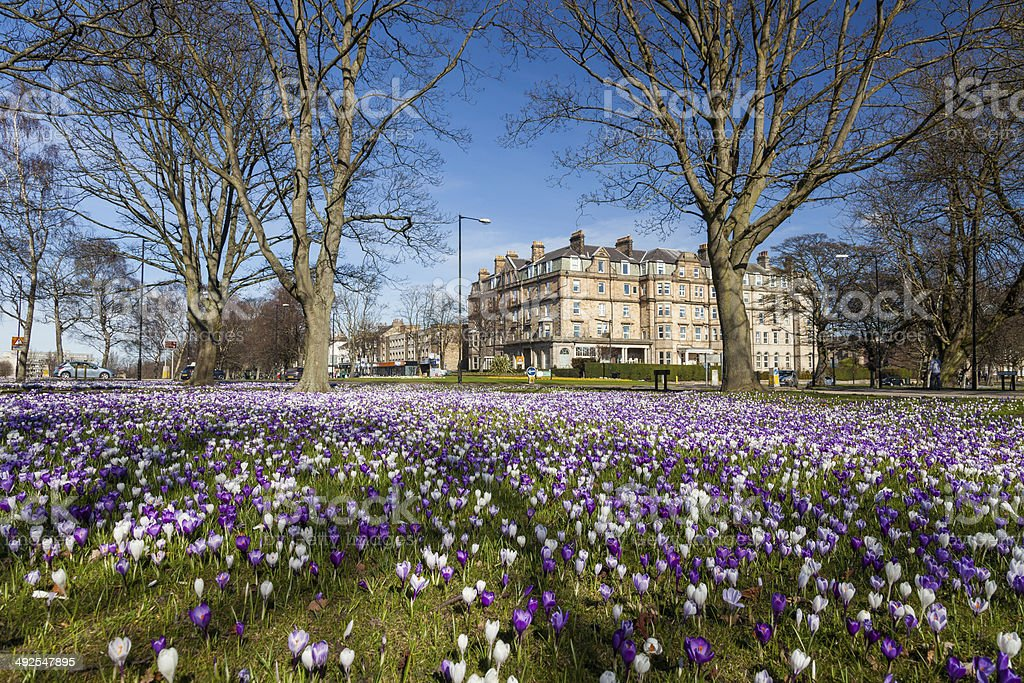 Spring day in Harrogate with Crocuses stock photo