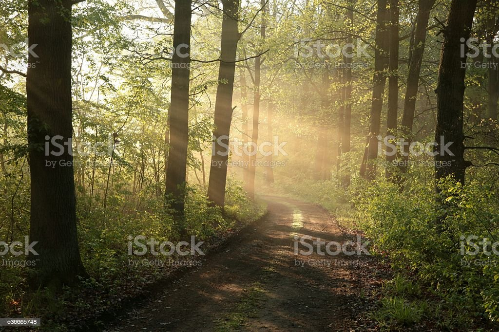 Spring deciduous forest at dawn stock photo