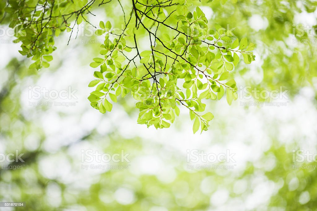spring elm leaves selective focused stock photo
