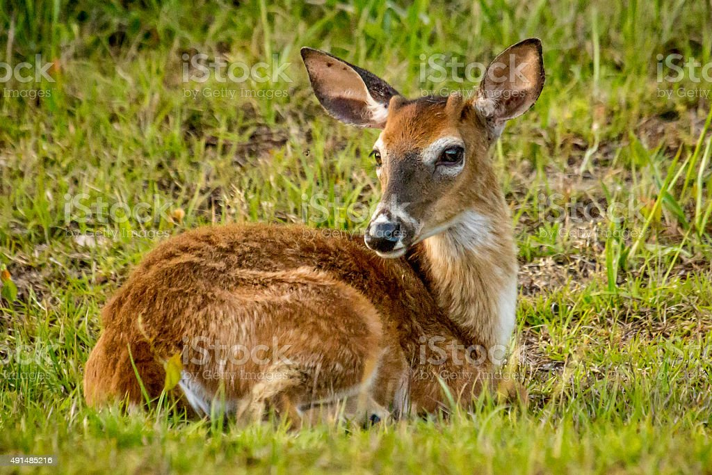 Spring Fawn stock photo