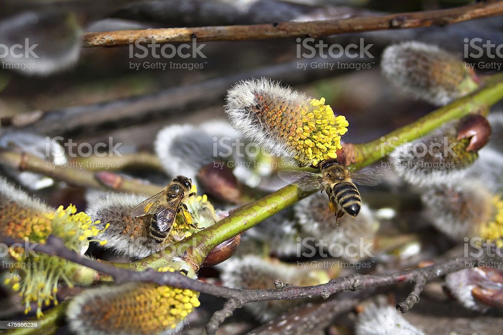 Spring feast for bees stock photo
