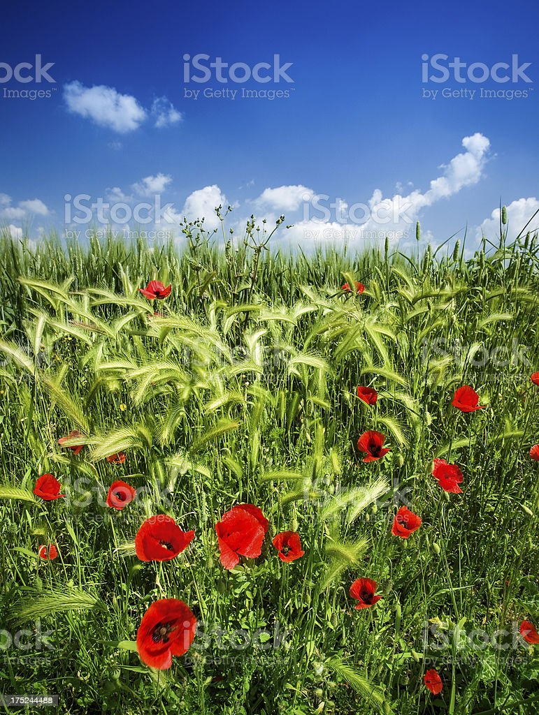 Spring Field Blooming with Poppies royalty-free stock photo