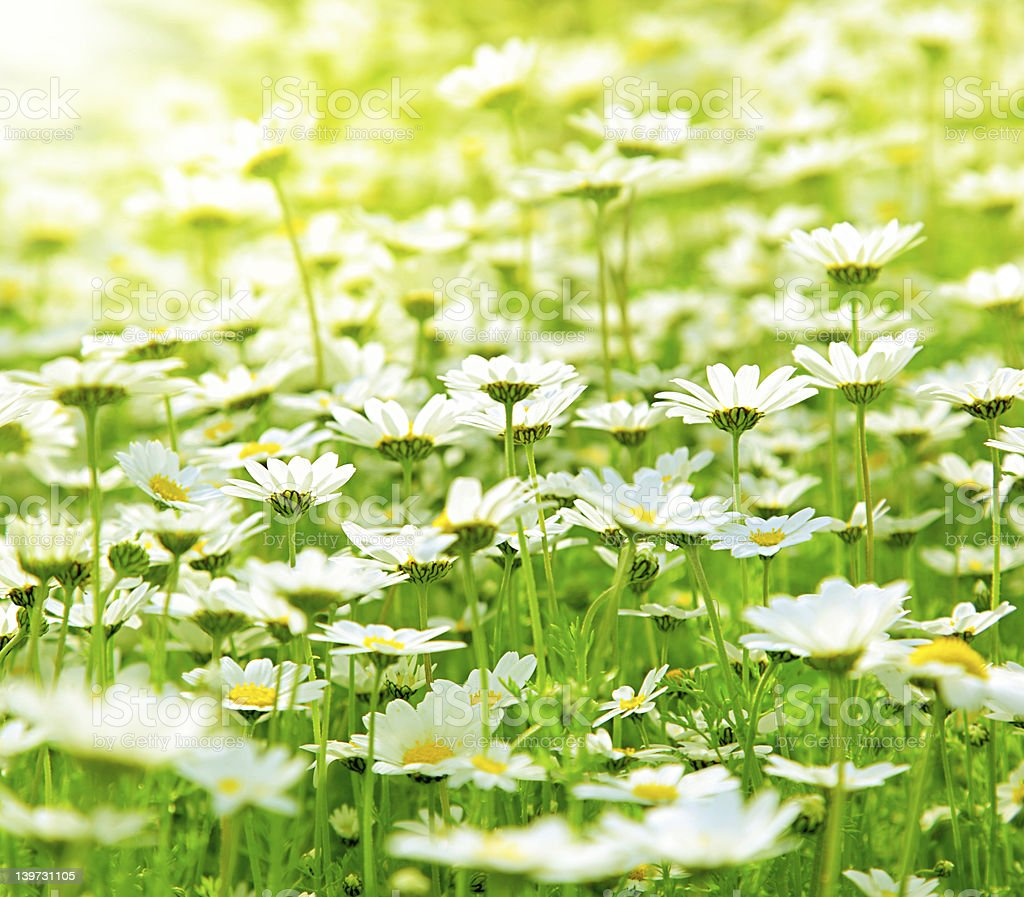 Spring field of daisies royalty-free stock photo