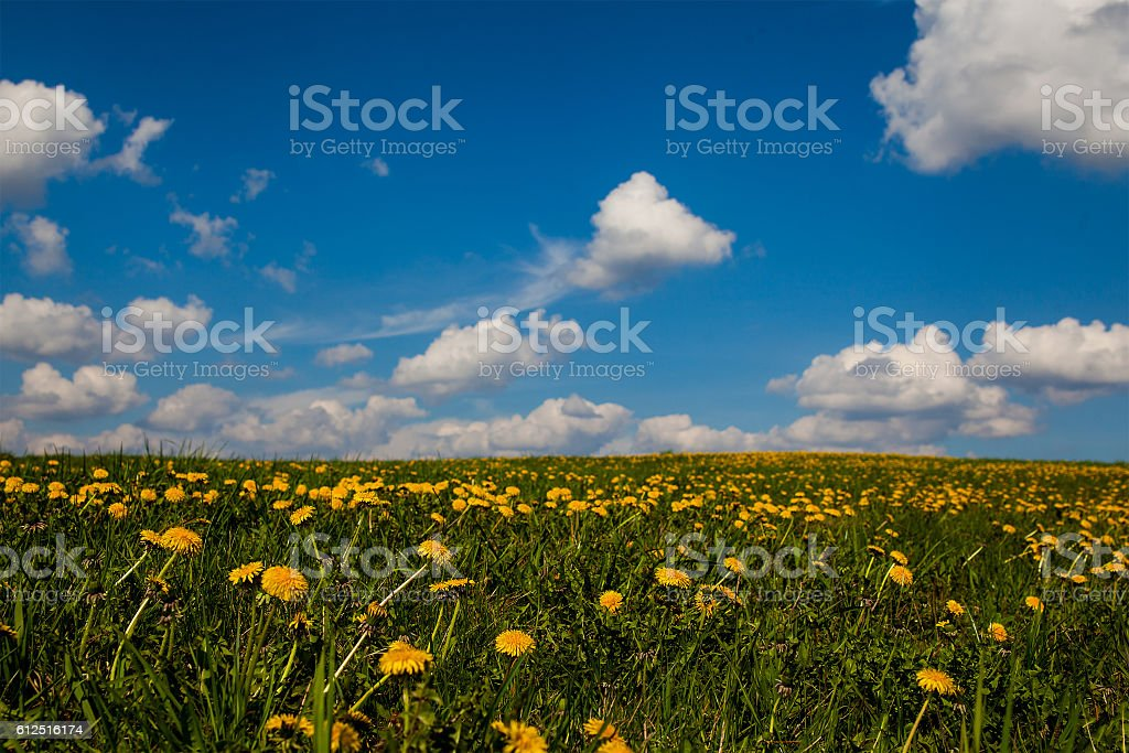 Spring field with dandelions on bright sunny day royalty-free stock photo