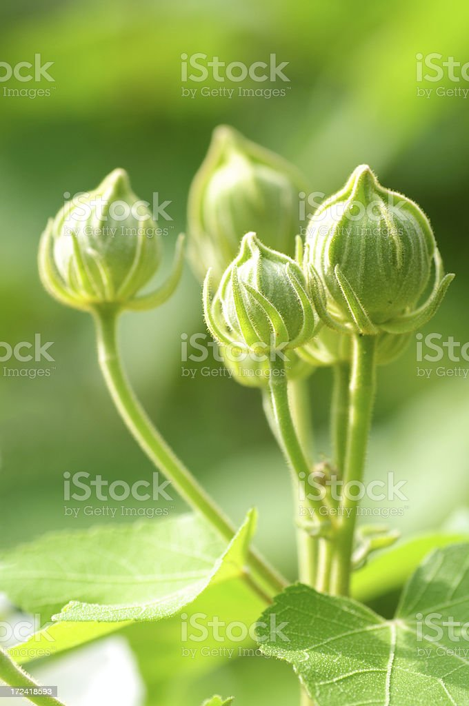 Spring flower buds royalty-free stock photo