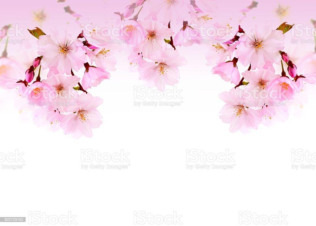 Spring flower, cherry blossoms. stock photo